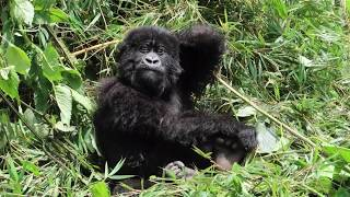 Touched by a wild baby gorilla in Rwanda: SO CUTE!
