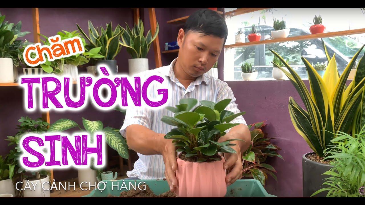 64. Cây Trường sinh để bàn (Phần 1) - Hướng dẫn trồng và chăm sóc - Cây cảnh Chợ Hàng