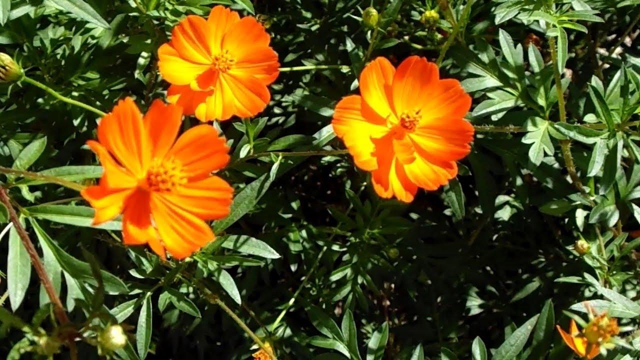 Cosmos Sulfureux comme plante décorative ou plante d ...