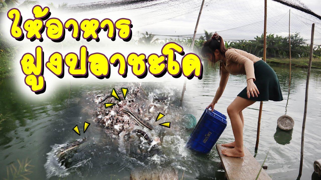 ให้อาหาร ฝูงปลาชะโด | Feeding Giant Snakehead  | ปลาชะโด | สมเดย์