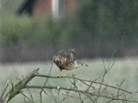 Hen Harrier Hunt