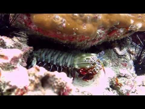 Павлинья креветка-богомол Peacock mantis shrimp [Odontodactylus scyllarus]