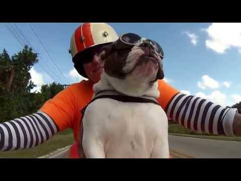 Tierisch coole Biker-Bulldogge