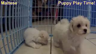 Maltese, Puppies, For, Sale, In, Chicago, Illinois, IL, Carol Stream, Streamwood, Plainfield, Crysta