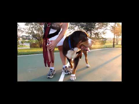 How to Measure Your Dog for a Drafting / Carting Harness - Greater Swiss Mountain Dog