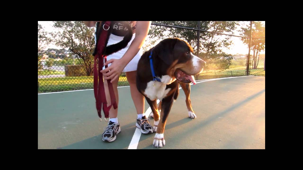 How To Measure Your Dog For A Drafting Carting Harness