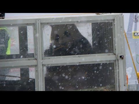 Giant pandas land in Finland