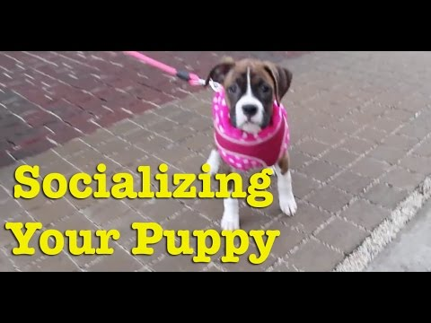How Do I Socialize My Puppy?