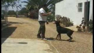 Diferencias Adiestramiento Canino Civil Y Profesional