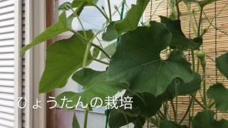 ひょうたん家庭栽培