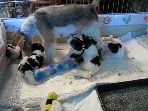 Wire Fox Terrier puppies 4 weeks playing with Mom - YouTube