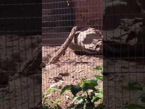 Meerkats ABQ zoo!