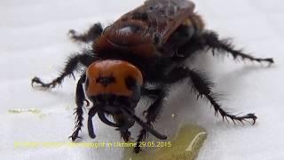 Гигантская Оса Сколия Живет На Балконе Monster Wasp Scolia Feeds on Honey, Kiev Ukraine
