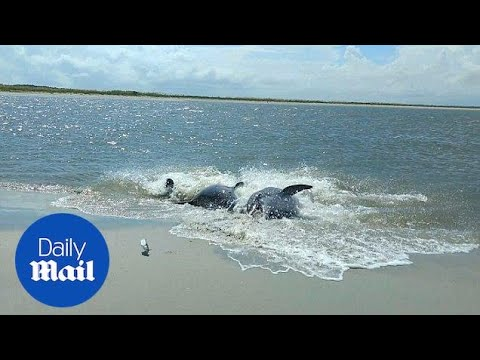 Dolphins Beach Themselves In Valiant Effort To Catch Fish