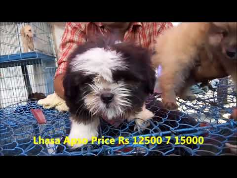 Super Cute Lhasa Apso Puppy For Sale At Galiff Street Pet Market Kolkata