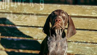 """""""Sam"""" German Shorthaired Pointer Obedience Training"""