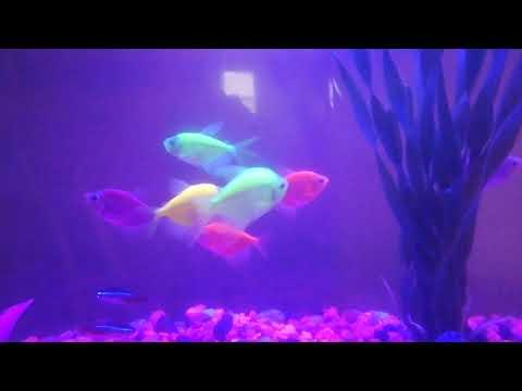 Is My Glofish Pregnant???