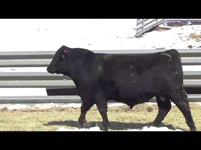 Connealy Angus Lot 458