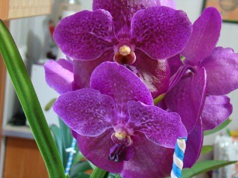 Орхидея Ванда - Уход за растением. Фалинопсис, Мильтония, Дендробиум, Камбрия, Цимбидиум.