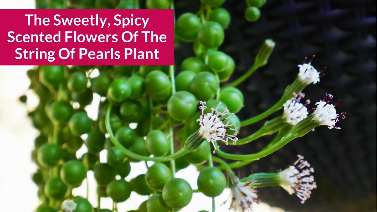The Sweetly/Spicy Scented Flowers Of The String Of Pearls Plant / Joy Us  Garden