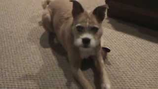 Fun With Border Terrier / Boxer Mix Dog & Her Stuffed Fox Toy