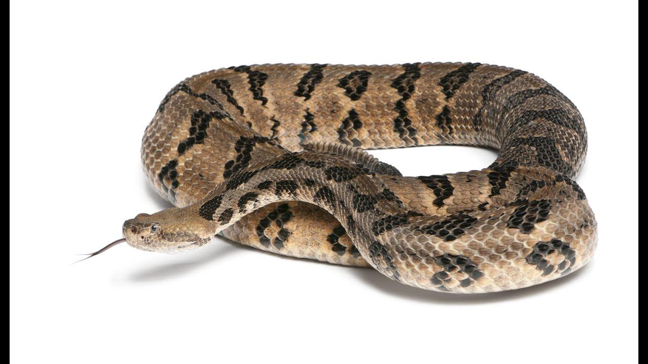 Are Diamondback Snakes Poisonous