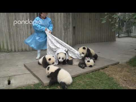 Pandas and their Nanny