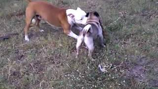 Pug Vs. Pit Bull Josey & Zane