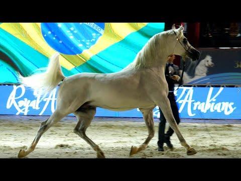 EL JAHEZ WH - Gold Champion Senior Stallion - Brazilian Nationals 2019