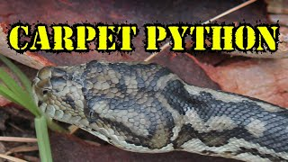 Live Snake Drawing - The Southern Carpet Python