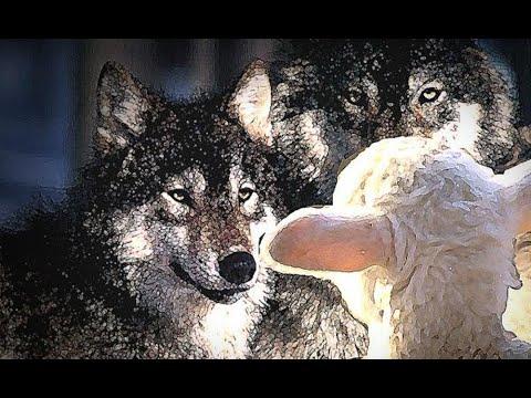 """""""Как овец среди волков...""""  Джон Гросболл"""