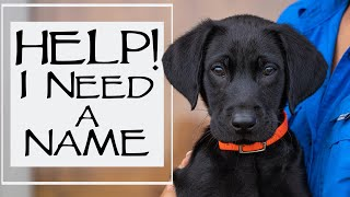 New Labrador Retriever Puppy - What To Do In The First 24 Hours Home