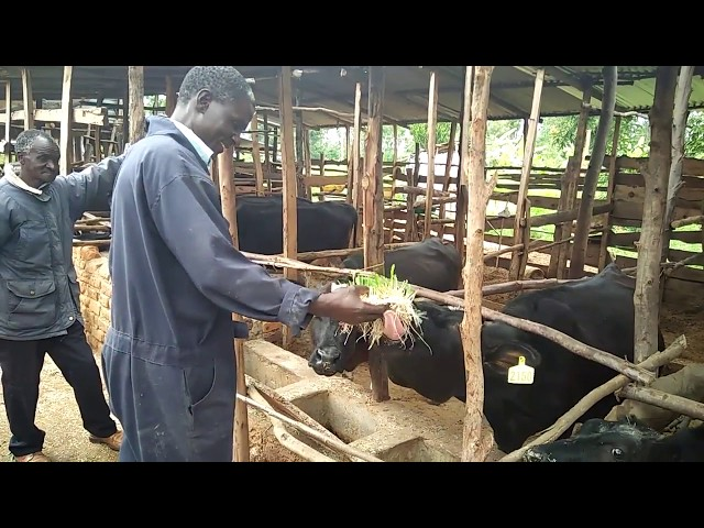 Feeding Dairy Cows with Hydroponic Maize/Corn fodder in Busia, Kenya