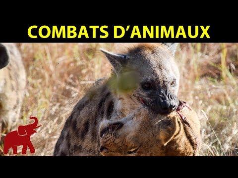 Les Plus Horribles Attaques De La Hyène Sur Le Lion, Léopard, Buffle, Éléphant || Combats D'Animaux