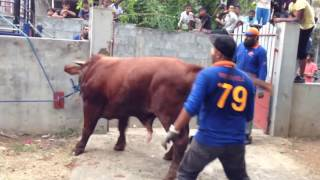 Siła  byka