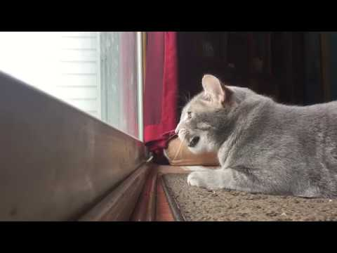 Cat knocking on the door funnycat tv for Door knocking sound prank