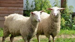 Молочные овцы Ост-фризской породы. Фермерское хозяйство quot;Каприquot;