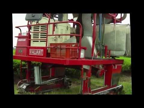 4 Ways to Harvesting Tea in Japan