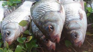 Câu trúng ổ cá diếc toàn CÁ TO KHỦNG KHIẾP | Câu cá ổ