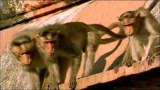 BBC Natural world - The Monkey Prince PART 5