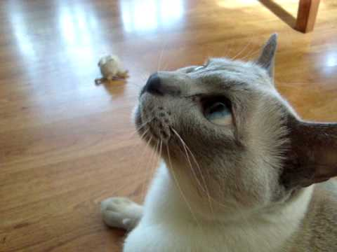 Tonkinese Cat Playing and Barking