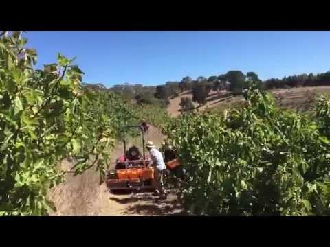 Fig harvest at Glen Ewin Estate