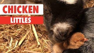 Chicken Littles