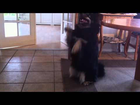 Finnish Lapphund Plays Dead!!
