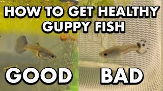 What to Look for to get Healthy Guppies *how to cull fish*