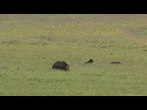 Grizzly bear and 2 cubs playing together - Yellowstone