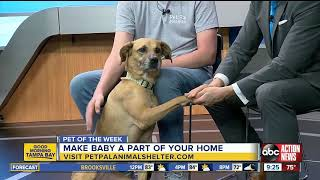 Pet of the Week: Baby is a sweet, 4-year-old Black Mouth Cur mix looking for a family