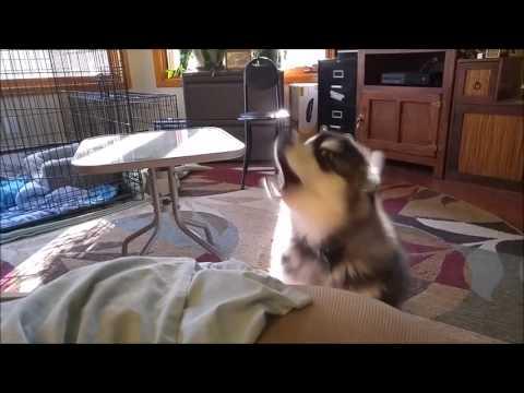 "Alaskan Malamute Puppy ""Complaining"" (talking)"