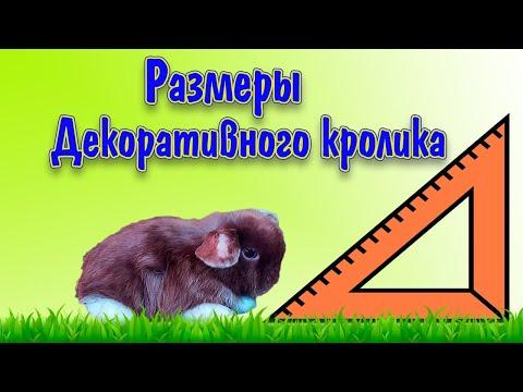 Декоративные кролики: размеры, какой будет.