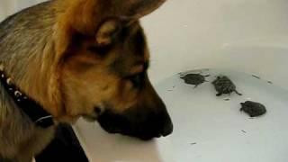 """German Shepherd """"maximus"""" Is Bewildered By Turtles Swimming In The Bathtub."""